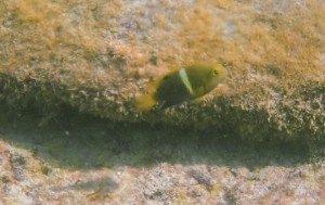 プランテーションベイ ビーチ魚4