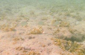 プランテーションベイ ビーチ魚6