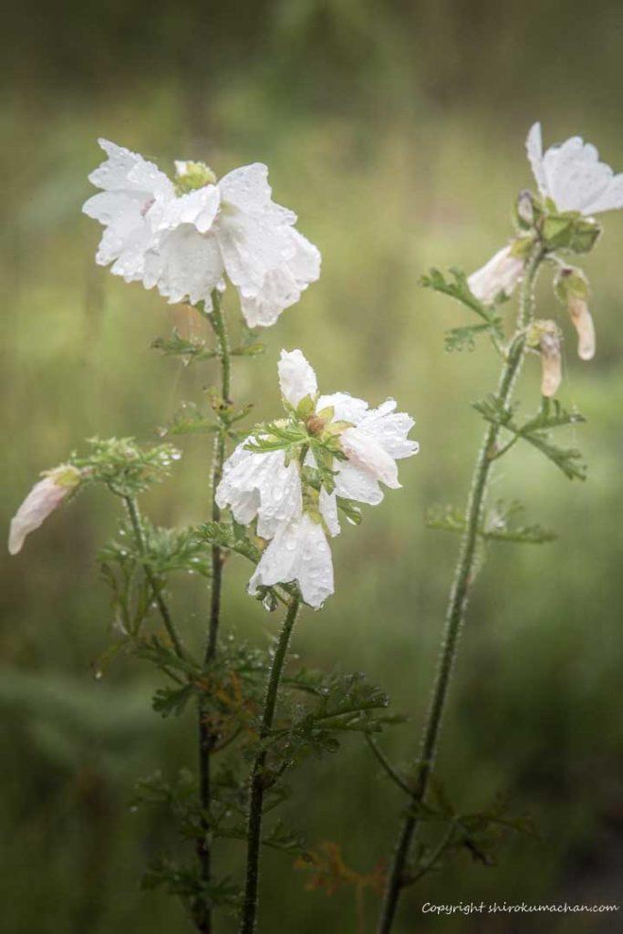 キロロの高山植物