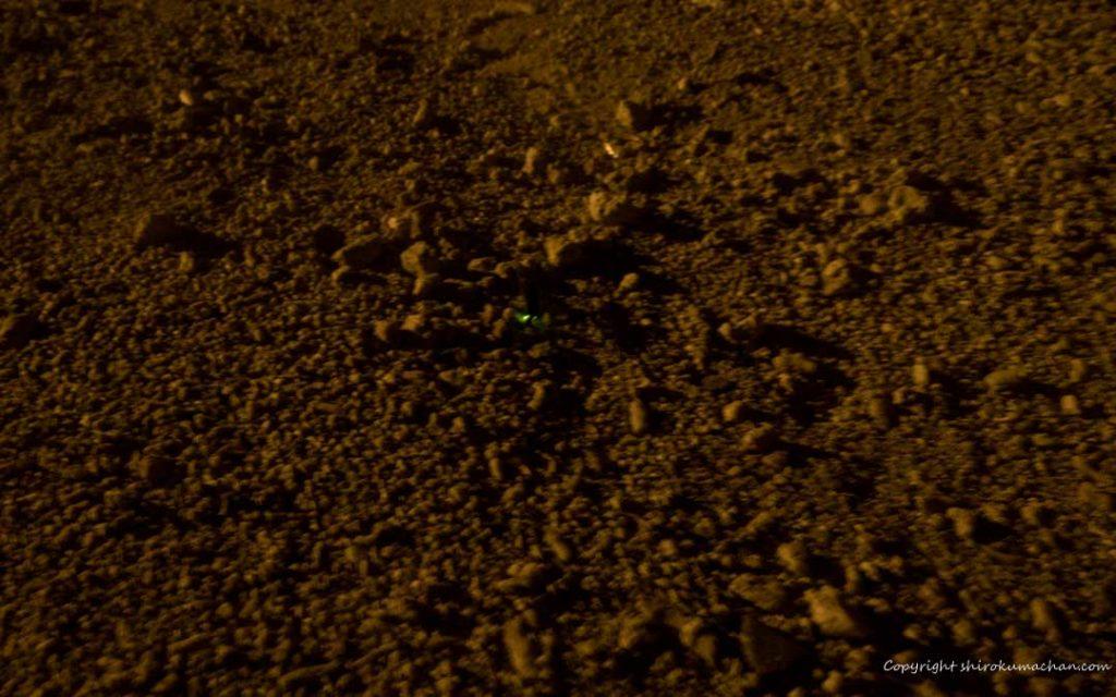 竹富島ホタルの幼虫