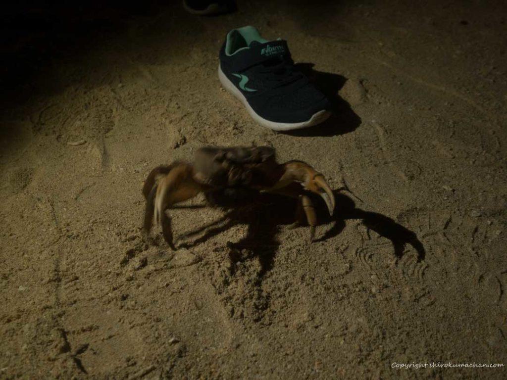 Risonare Kohamajima-Crab
